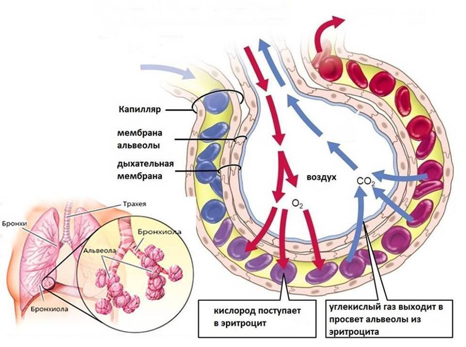 Схема газообмена в альвеоле