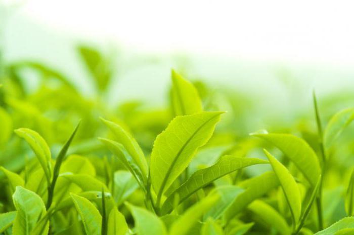 зеленый чай при гастрите с повышенной кислотностью