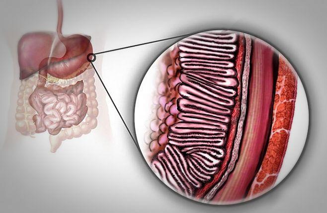 Строение стенки желудка