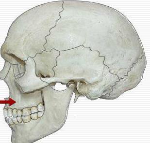 альвеолярный отросток верхней челюсти