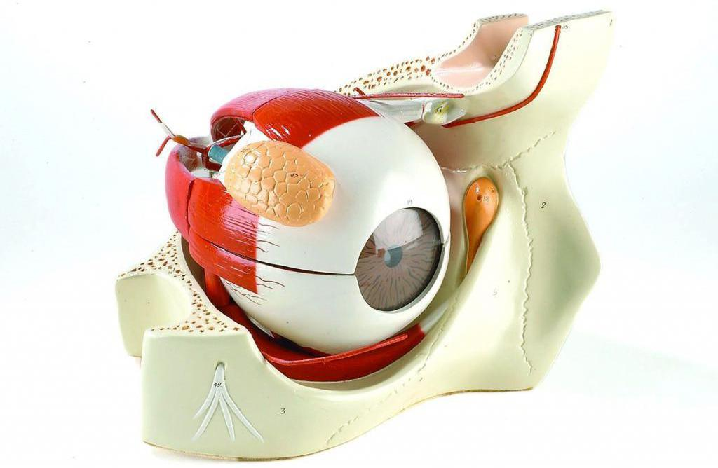 Анатомия глазного яблока (модель)