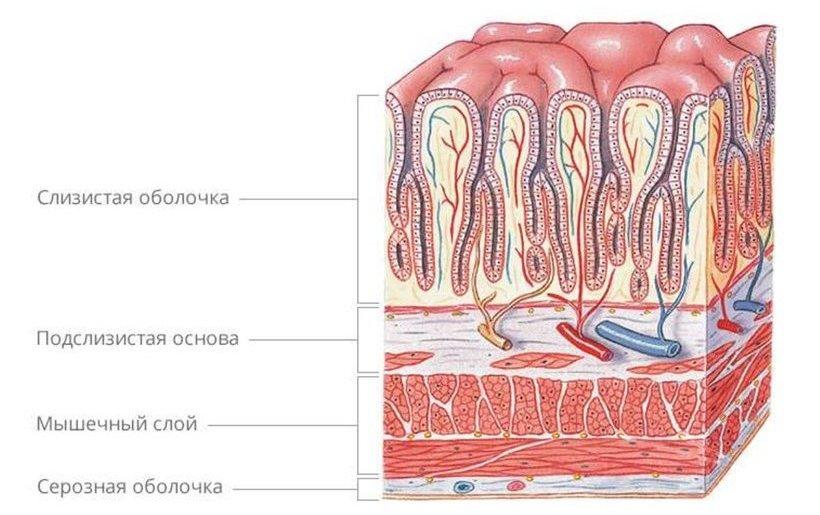 особенности строения желудка