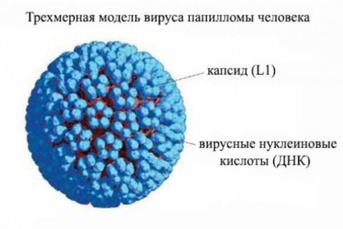 Как выглядит вирус папилломы