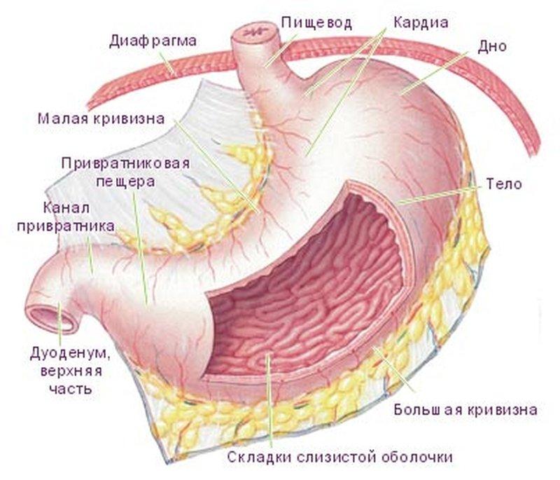 опишите особенности строения желудка