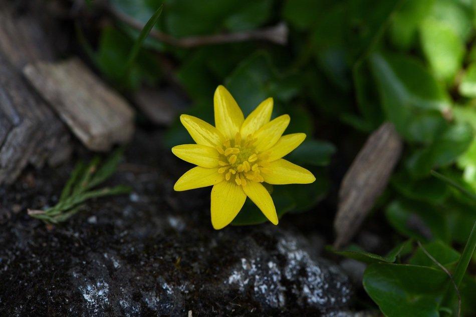 Желтый цветок чистотела.