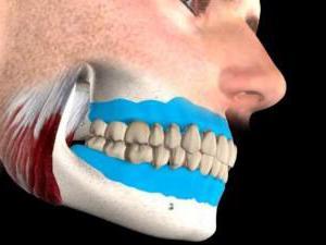 строение верхней челюсти