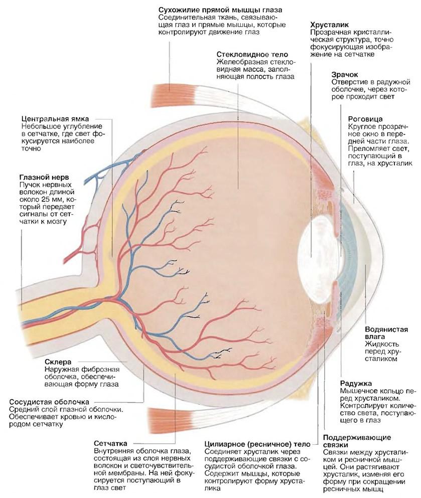 сетчатка оболочка глаза