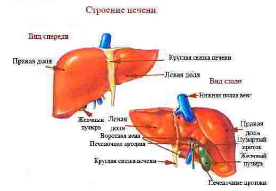 строение органа печени