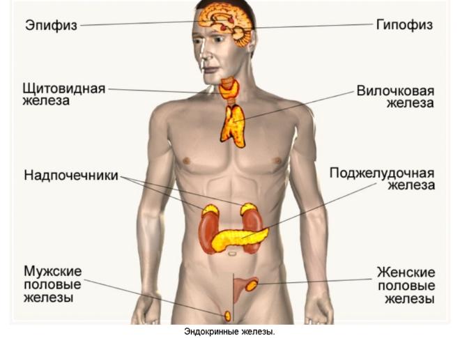 какие особенности характерны для желез внутренней секреции