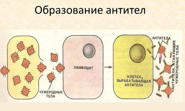образование антител после вакцинации